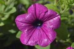 Petunias Imagenes de archivo