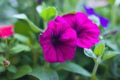 petunias Royaltyfria Foton