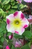 Petunias Fotos de archivo libres de regalías