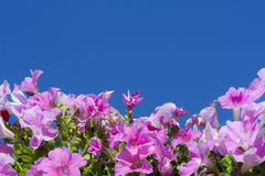 Petunias against the blue sky Royalty Free Stock Image