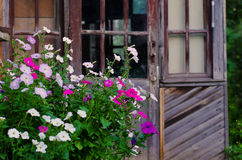 The petunias in the background of the old house. White and pink petunias growing near the old house on the background of wooden doors Stock Photography