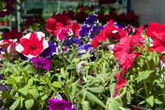 Petunias. In basket, athens, greece Royalty Free Stock Photography