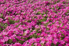 Petunias beautiful pink color on the flower field royalty free stock photo