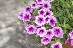 Petunias Royalty Free Stock Photography