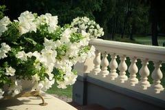 Petunias blancas Fotografía de archivo libre de regalías