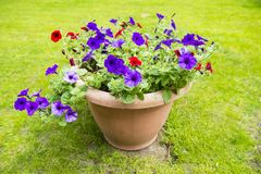 Petunias in Bloom. A planter full of petunias Royalty Free Stock Image