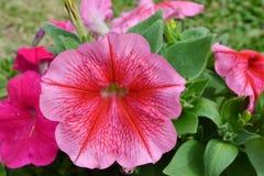 Petunias. Stock Photography