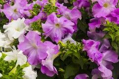 Petunias coloridas Fotografía de archivo libre de regalías