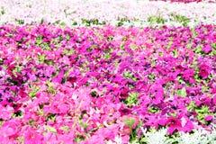 Petunias coloridas hermosas en el campo de flor Foto de archivo
