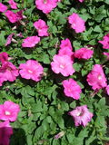 Petunias cor-de-rosa Imagens de Stock Royalty Free
