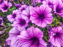 Petunias cor-de-rosa brilhante Fotografia de Stock Royalty Free