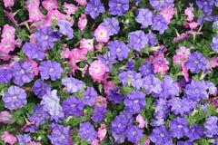 Petunias cor-de-rosa e roxo Foto de Stock Royalty Free