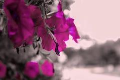 Petunias en el parque Ramat Hanadiv, jardines conmemorativos de Baron Edmond de Rothschild, Zichron Yaakov, Israel Filtro aplicad fotos de archivo