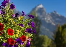 Petunias en el Tetons Fotos de archivo