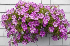 Petunias en la pared blanca Fotos de archivo