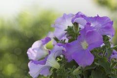 Petunias florecientes Imágenes de archivo libres de regalías