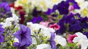 Petunias florecientes coloridas Imágenes de archivo libres de regalías