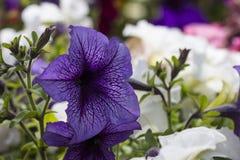 Petunias florecientes coloridas Fotos de archivo libres de regalías