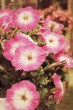 Petunias flower Royalty Free Stock Photography