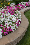 Petunias on the Flower Bed Royalty Free Stock Photos