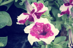 Petunias flower Stock Photos