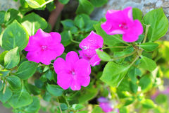 Petunias flower - pink flower in nature royalty free stock photo