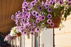 Petunias in the flower pot. Royalty Free Stock Image
