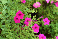 The petunias flowers. In garden Royalty Free Stock Image