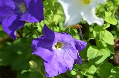 Petunias flowers Royalty Free Stock Photo