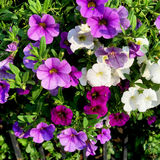 Petunias Flowers. In the garden Stock Photos