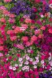Petunias and geraniums Stock Image