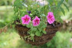 Petunias in hanging basket. Blooming pink petunias in hanging basket stock photography