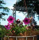 Petunias hanging in front of arbor. Pink petunias hanging in front of a white garden arbor Stock Image
