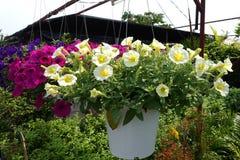 Petunias in hanging pots. royalty free stock photo