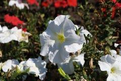Petunias - imagen del detalle de la flor imagenes de archivo