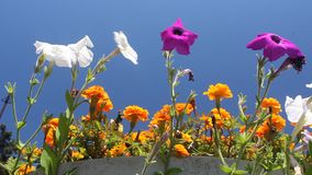 Petunias and marigolds Royalty Free Stock Images