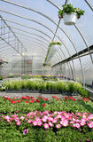 Petunias na casa verde Imagem de Stock