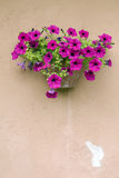 Petunias on a old wall stock image