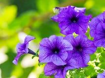 Petunias púrpuras Imagenes de archivo