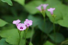 The petunias Royalty Free Stock Image