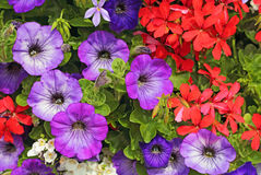 Petunias and pelargoniums Royalty Free Stock Images