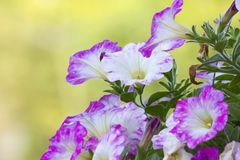Petunias. �are one of the most popular type of annual. They are divided into two different groups: Grandiflora  have very large flowers and are best grown stock photos