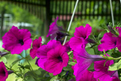 Petunias Royalty Free Stock Photos