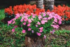 Petunias pink Stock Photography