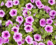 The petunias pink flowers Stock Images