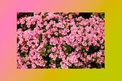 Petunias pink rose, Yellow daffodil,pansies, snapdragon and marigold, beautiful flower green grass background black white Stock Photo