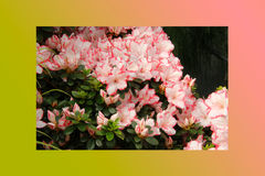 Petunias pink rose, Yellow daffodil,pansies, snapdragon and marigold, beautiful flower green grass background black white Stock Images
