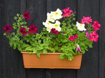 Petunias in pot. Hanging on black wooden wall Royalty Free Stock Photos