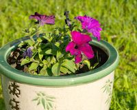 Petunias in pot Royalty Free Stock Photo