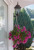 Petunias in pot hanging on the lamp Stock Image